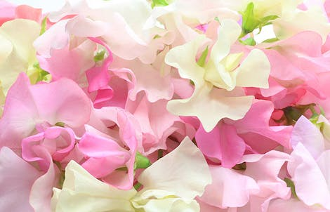 Photograph of sweet peas