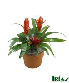 Small Triple Bromeliad Plant in a Ceramic Pot