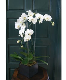 Elegant triple orchid with glass rods in black vase.