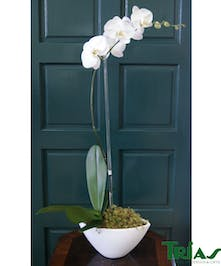 Single Orchid Plant in White Napa Vase