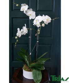 Triple Orchid Plant - White Decatur Vase