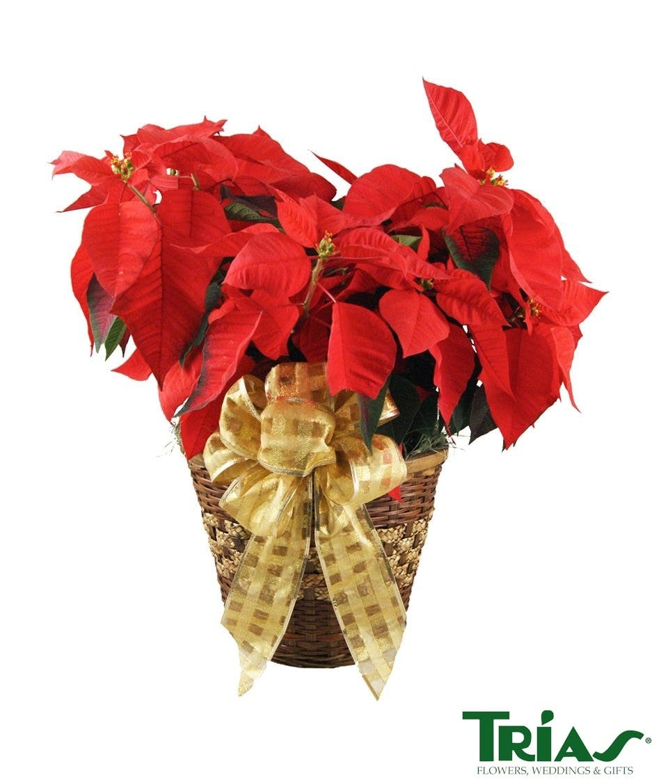 Holiday Poinsettia Plant