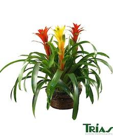 Triple Bromeliad Plant Med Ceramic Pot