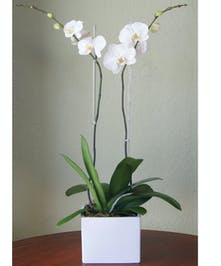 Double Orchid - White