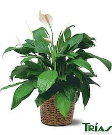 Spathiphyllm Plant - Medium