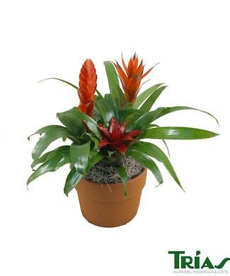 Bromeliad Plant Small