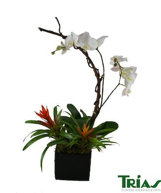 Double Orchid Plant with Bromeliads