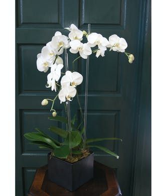Triple Orchid - White with Glass Rods