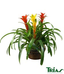 Bromeliad Plant Triple Bloom