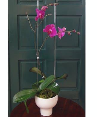 Double Orchid - Purple