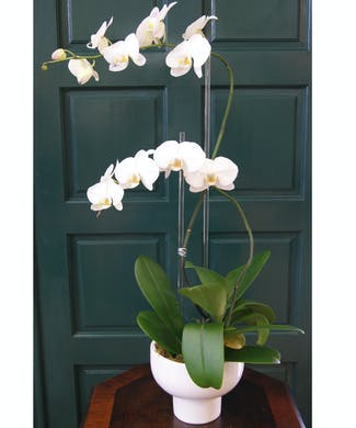 Double Orchid Plant Compote Vase