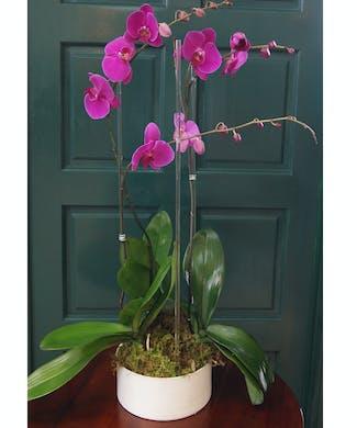 Triple Orchid - Purple